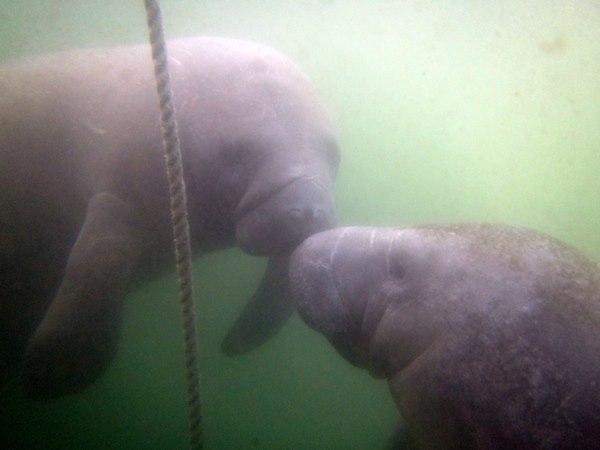 Manatees onder water Florida