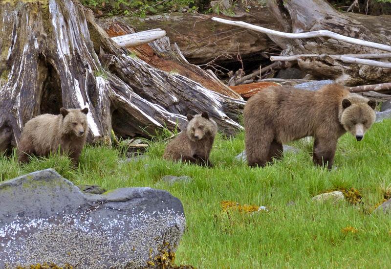Grizzly met jongen rondreis west-amerika