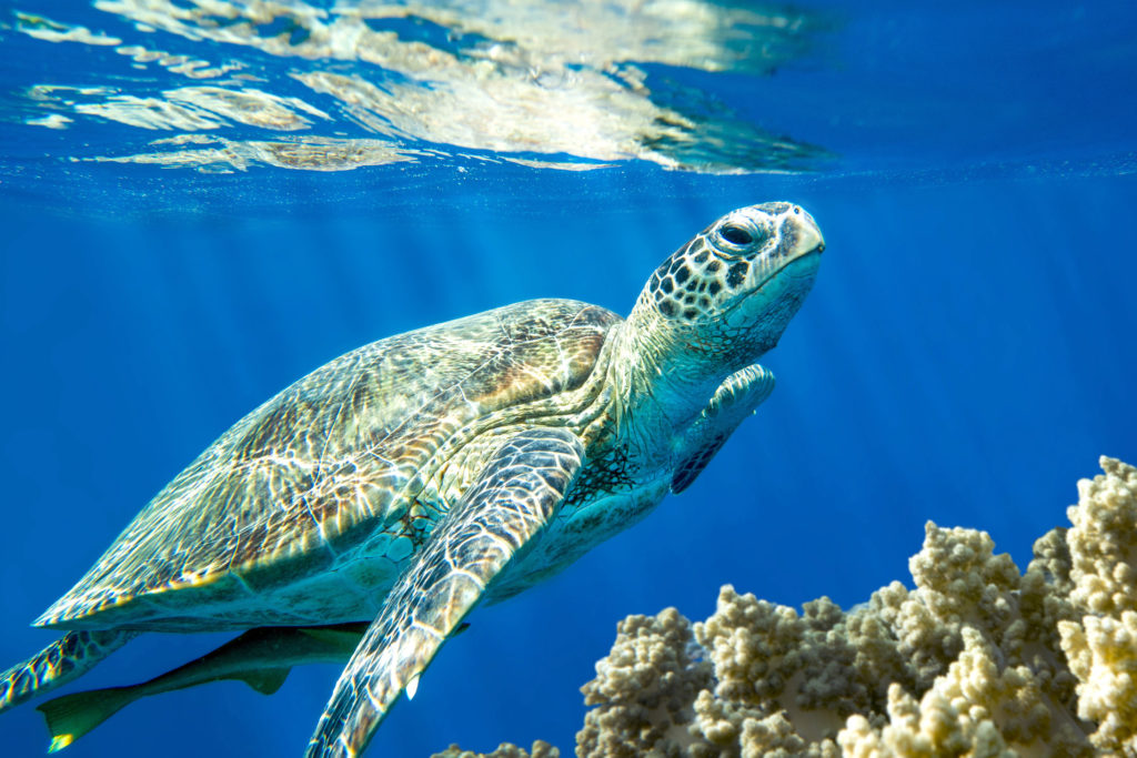 Caretta Caretta schildpad Kreta