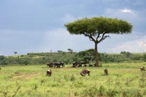 Gnoes in Zuid-Afrika
