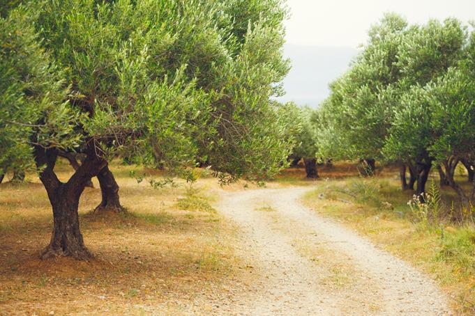 Olijfbomen op Kreta