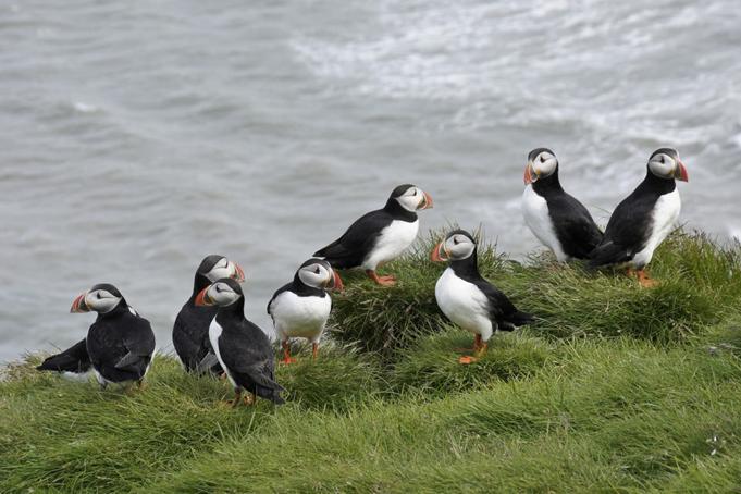 papegaaiduikers-ijsland-2